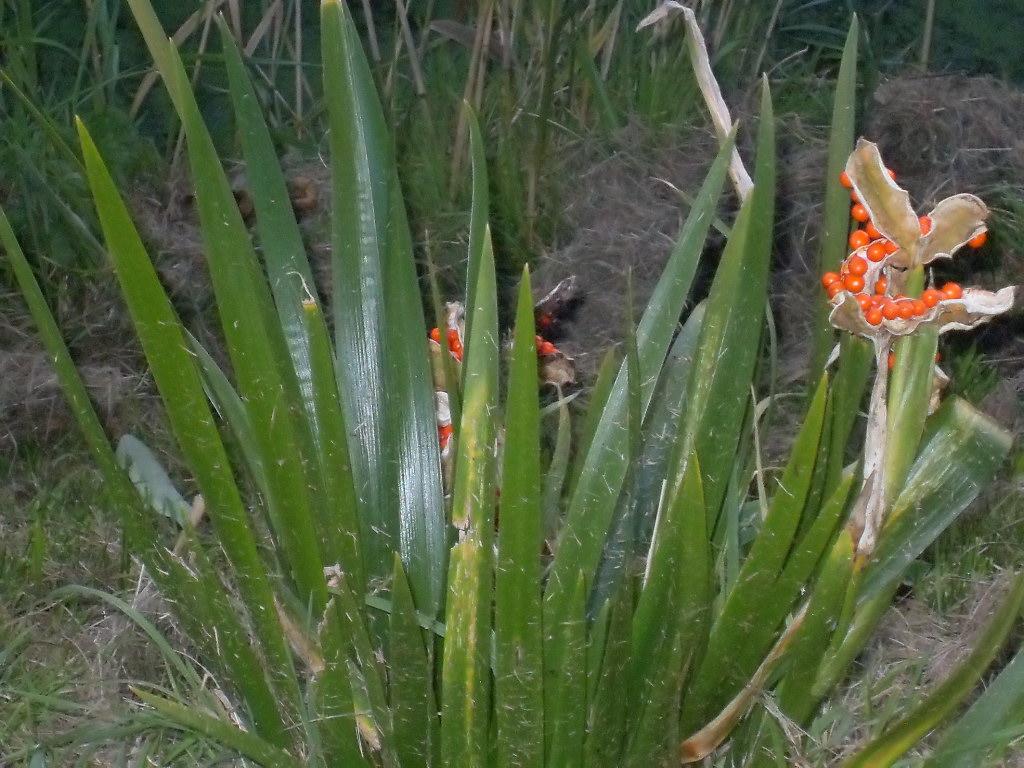 Iris foetidissima (door Paula Molendijk)