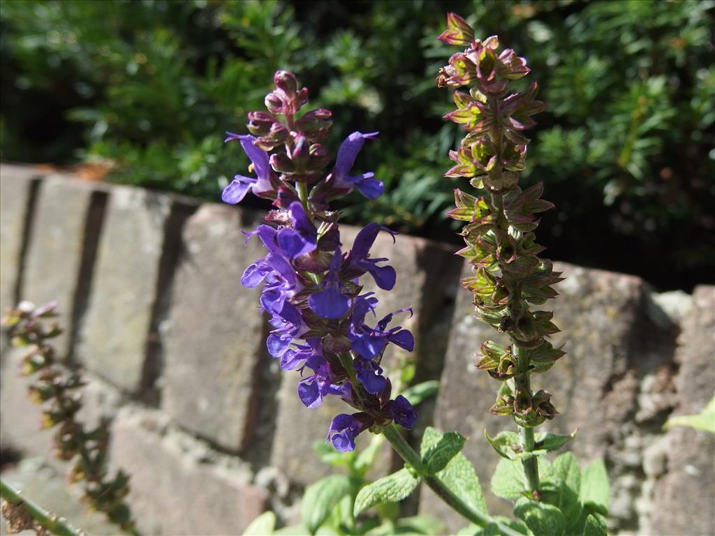 Salvia nemorosa (door Aad van Diemen)
