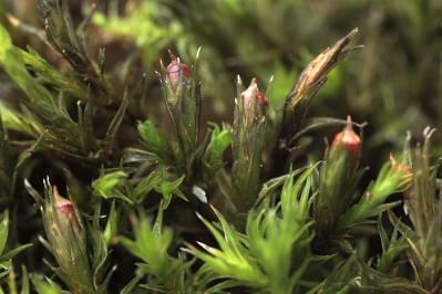 Schistidium crassipilum (door Klaas van der Veen)