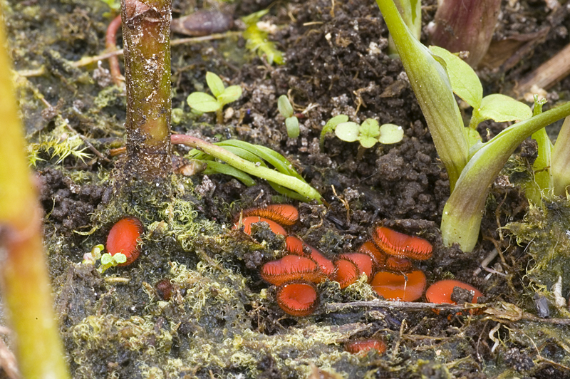 Scutellinia scutellata (door Nico Dam)