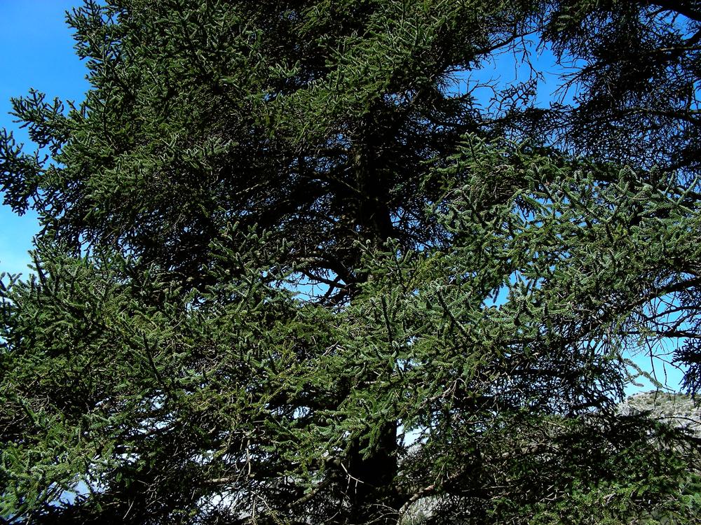 Abies pinsapo (door Ed Stikvoort)