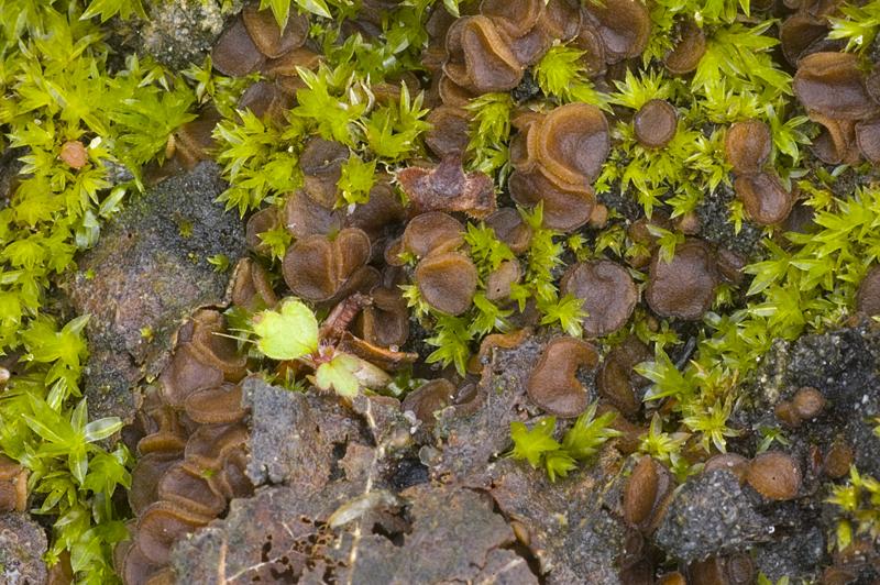 Sphaerosporella brunnea (door Nico Dam)