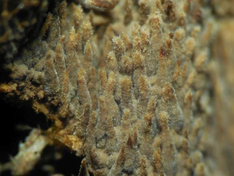 Tomentella crinalis (door Marian Jagers)