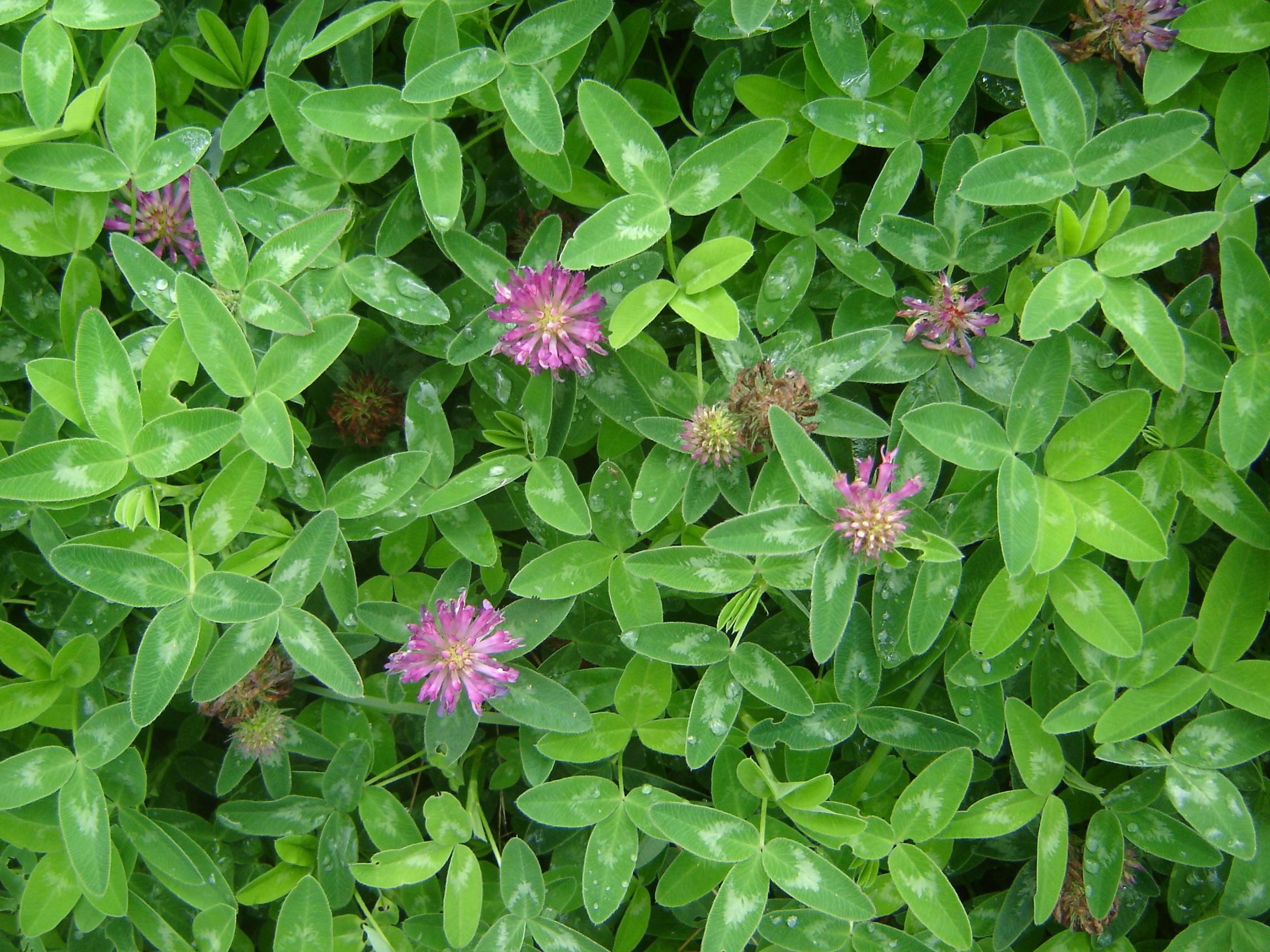 Trifolium medium (door Ruud Beringen)