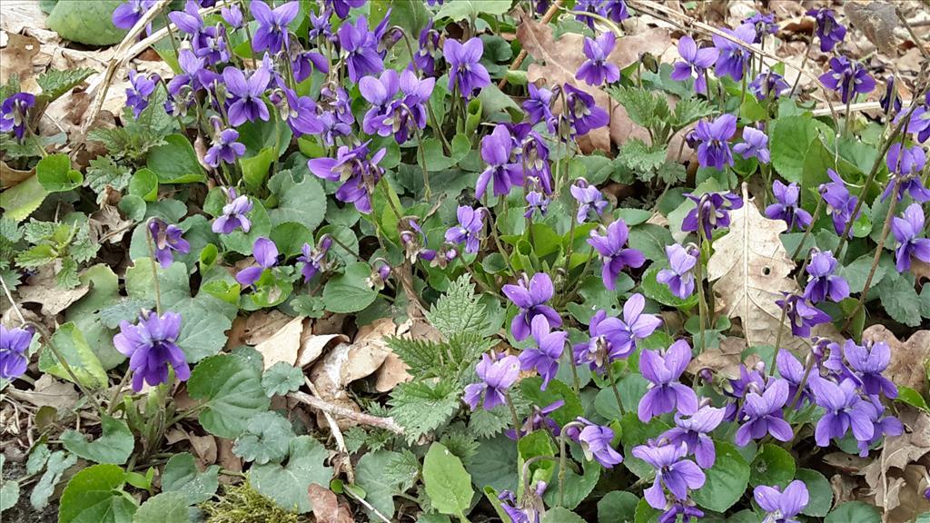 Viola odorata (door Gé Roering)