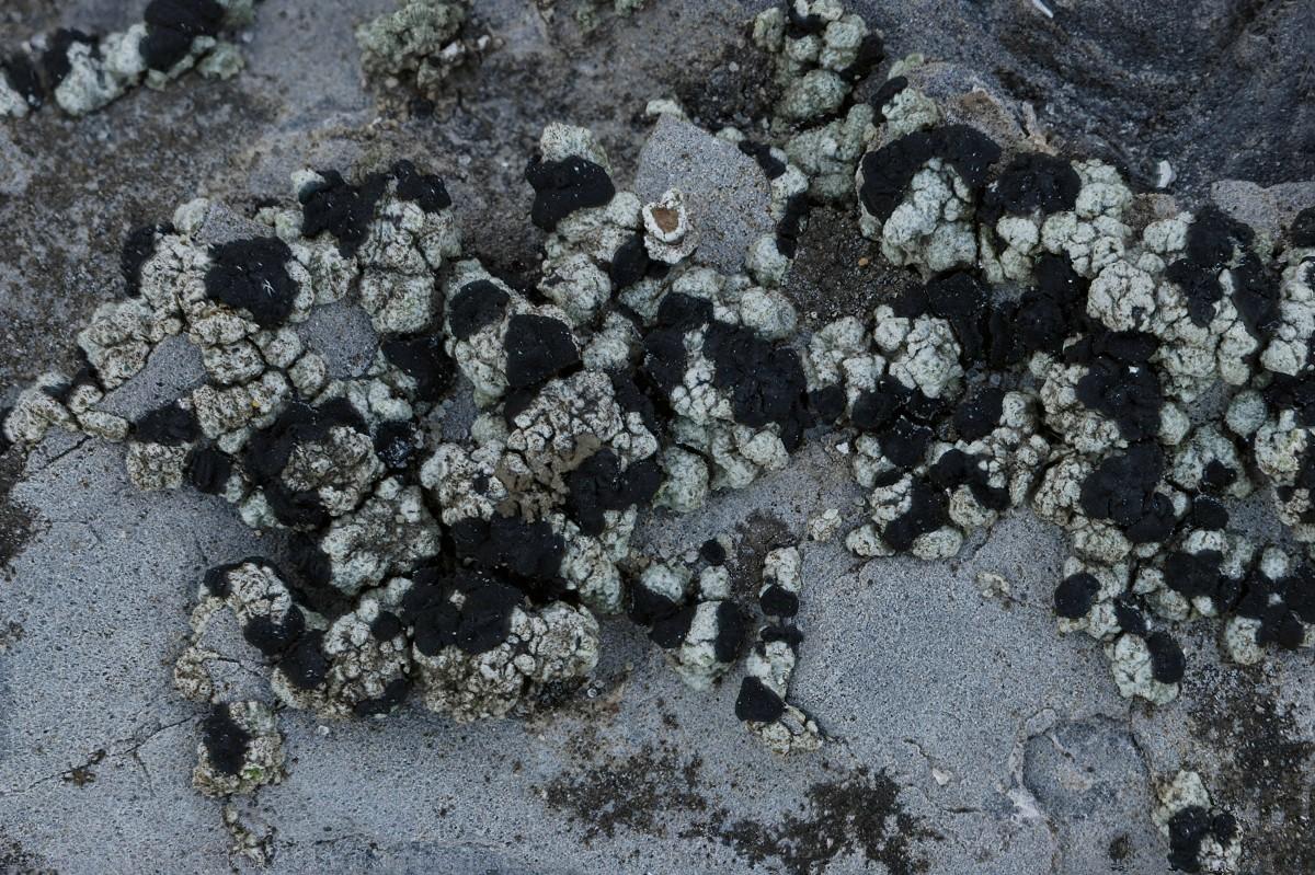 Toninia aromatica (door Arjan de Groot)