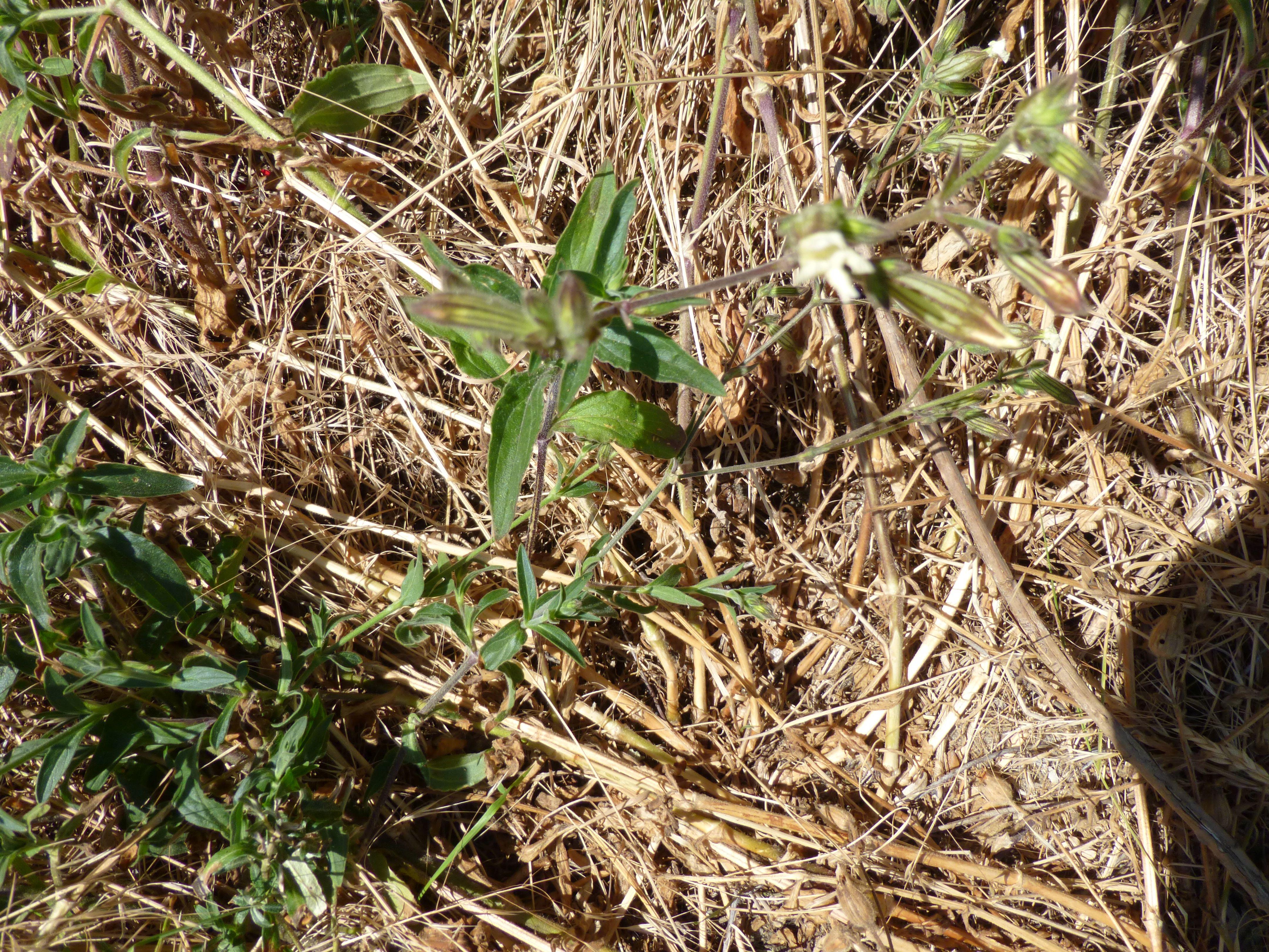Silene latifolia subsp. alba (door Christien Labruijère)