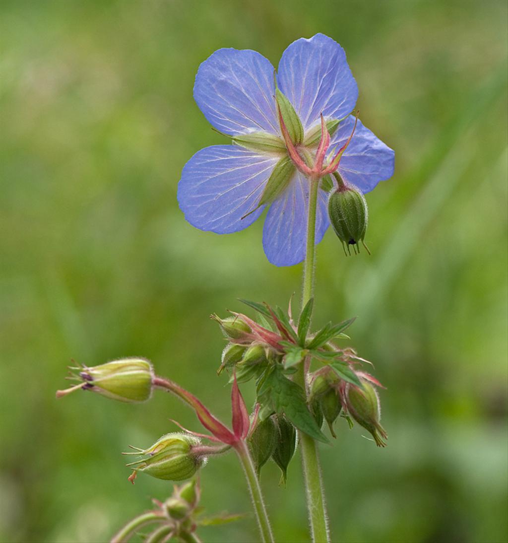 Geranium pratense (door Wijnand van Buuren)