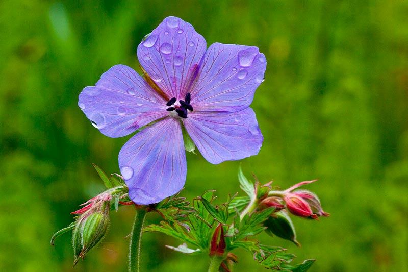Geranium pratense (door John Breugelmans)