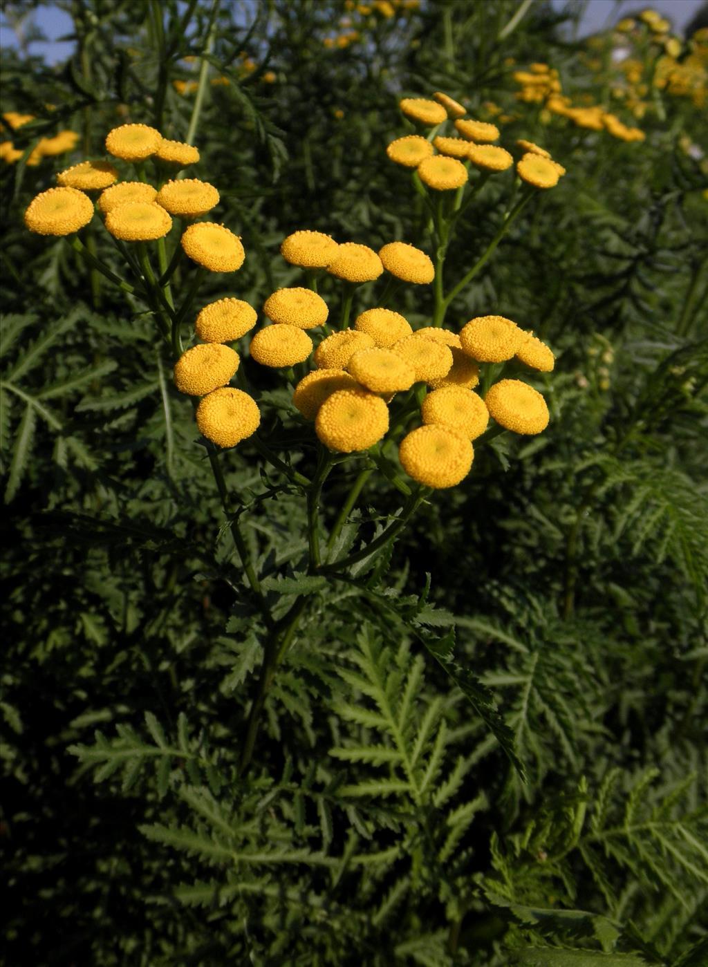 Tanacetum vulgare (door Bert Verbruggen)