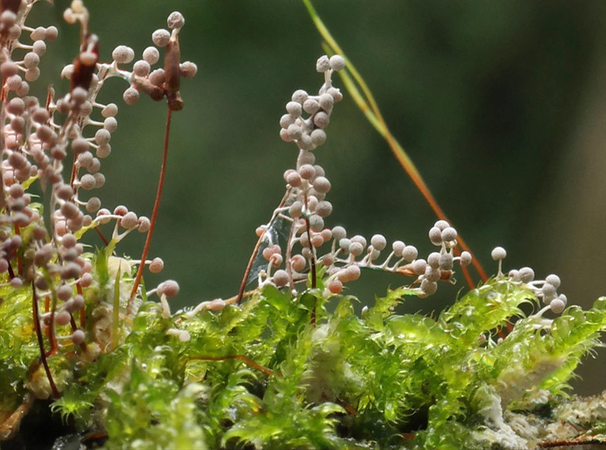 Physarum globuliferum (door Hannie Wijers)