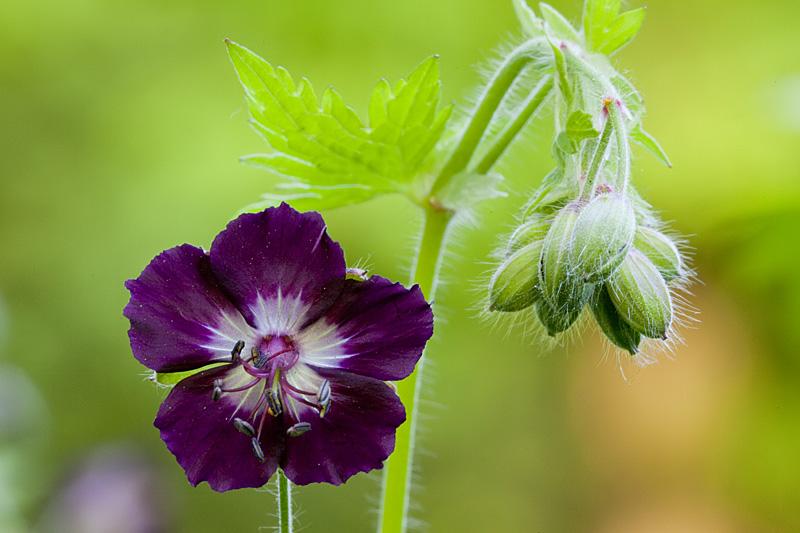 Geranium phaeum (door John Breugelmans)