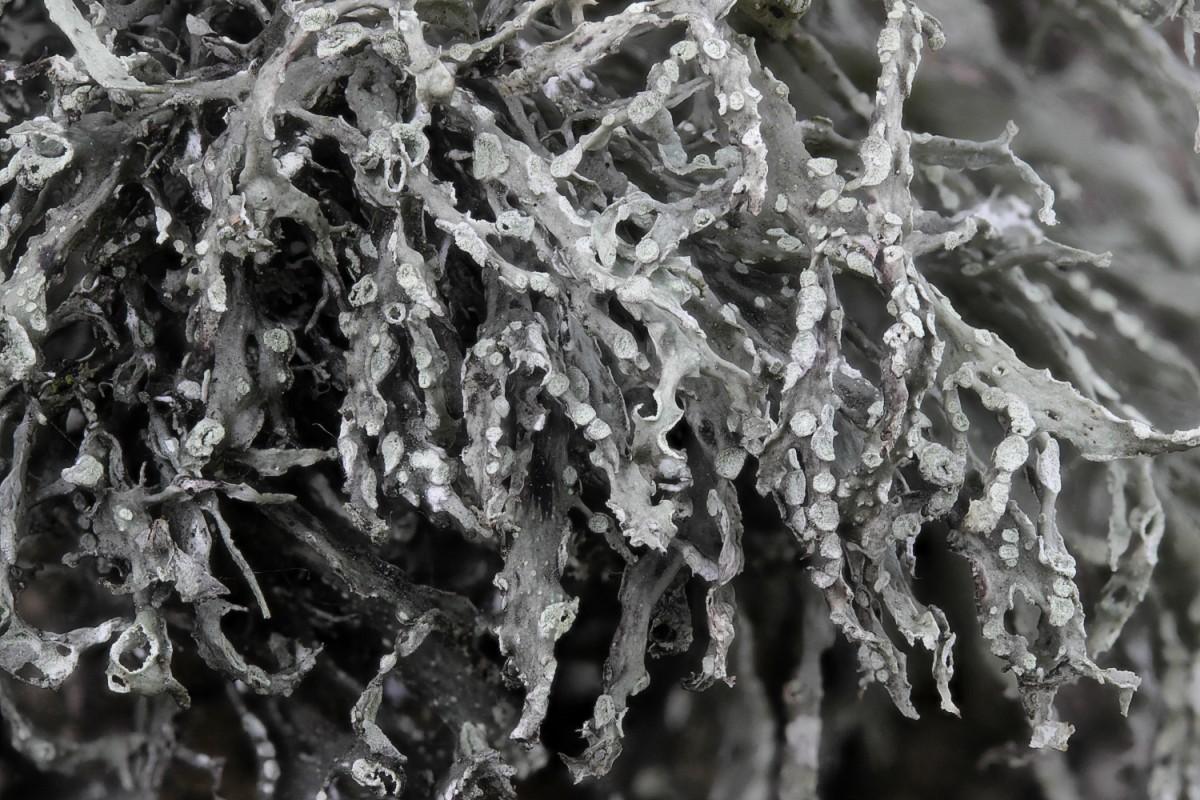 Ramalina farinacea (door Arjan de Groot)