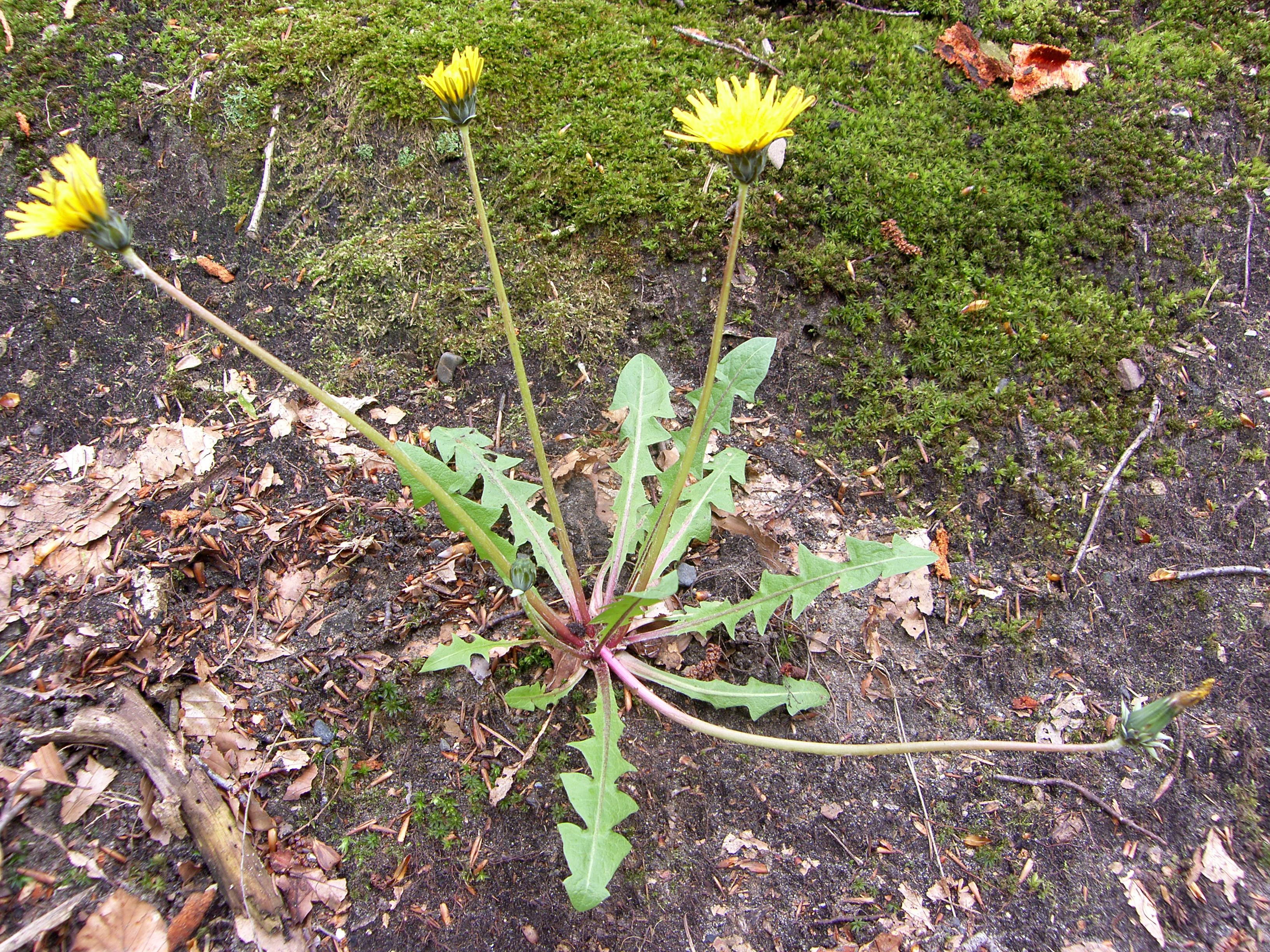 Taraxacum gelertii (door Otto Zijlstra)