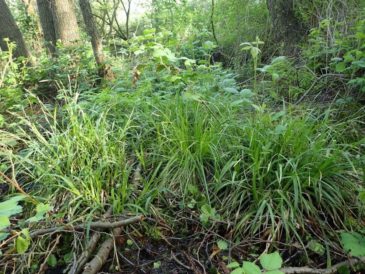 Carex laevigata (door Peter Eenshuistra)