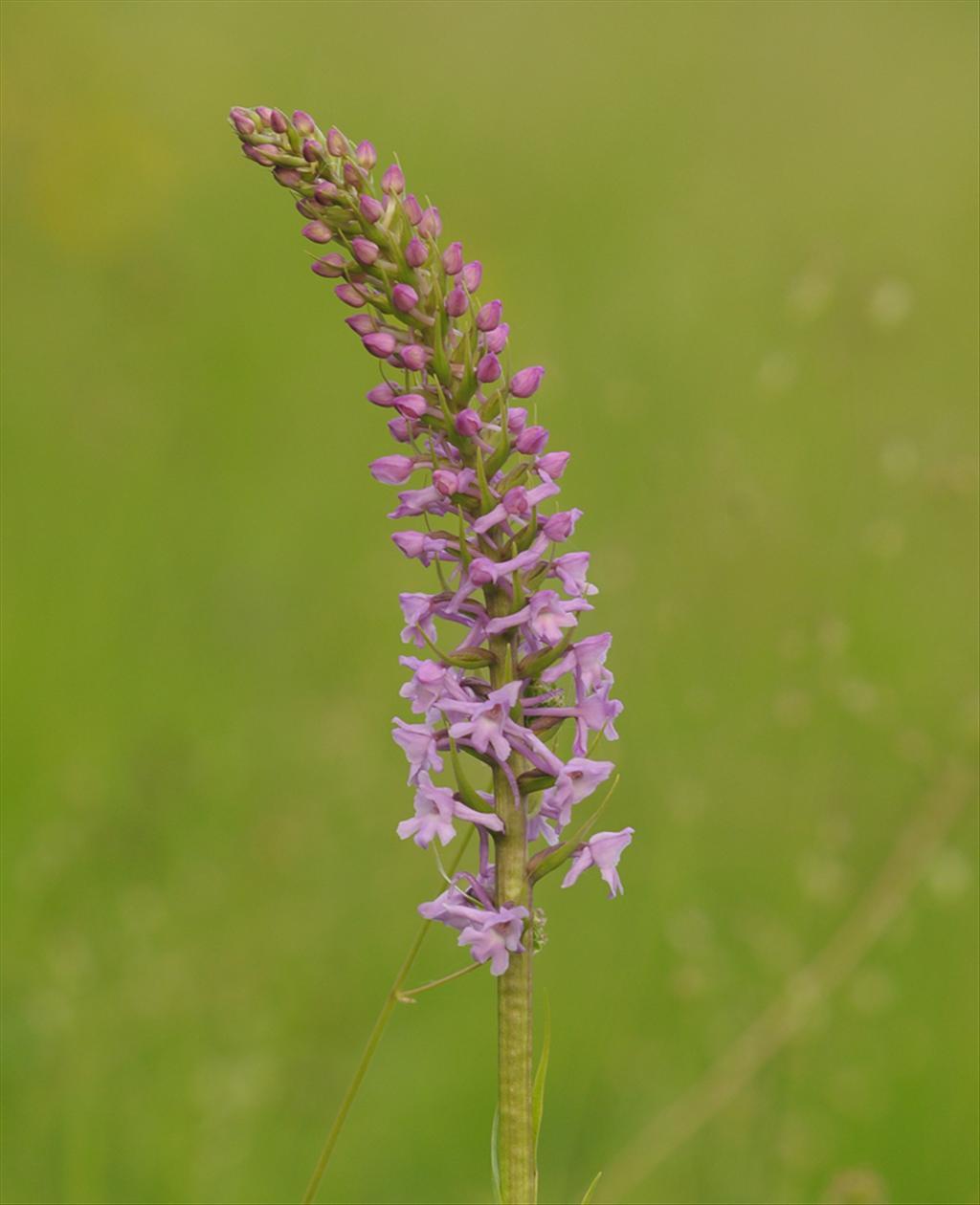 Gymnadenia conopsea (door Theo Muusse)