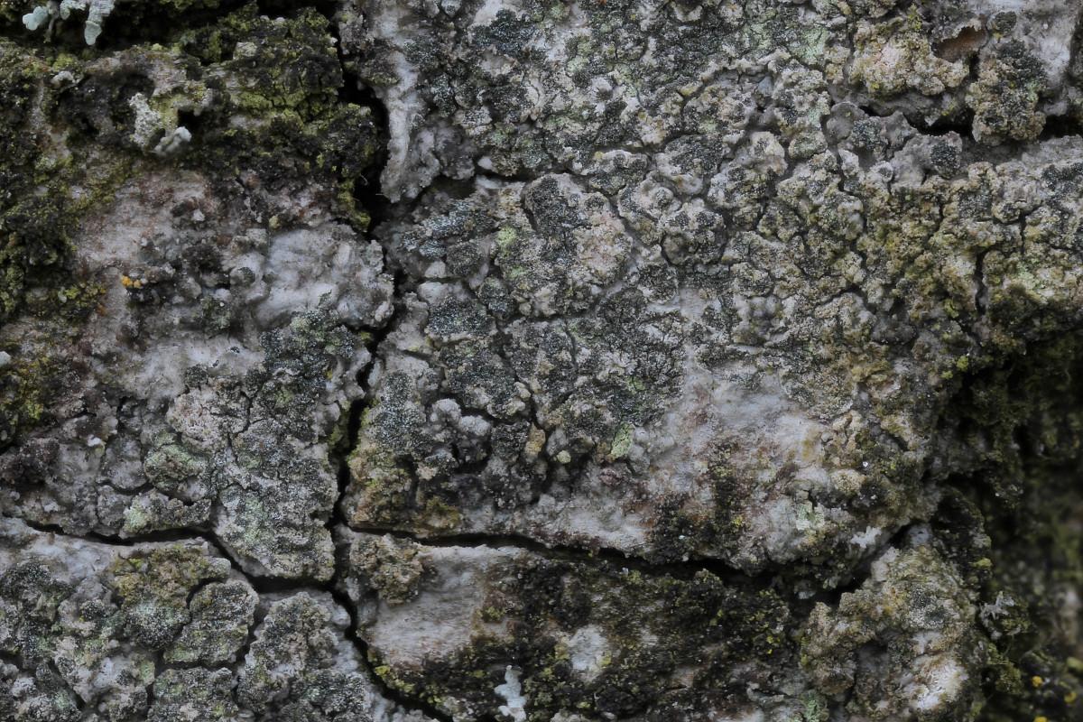 Buellia griseovirens (door Arjan de Groot)