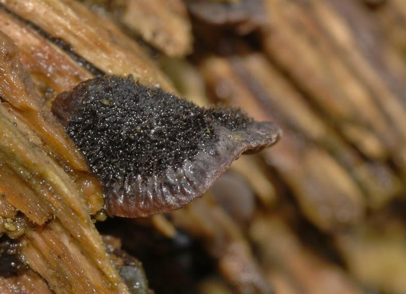 Resupinatus trichotis (door Laurens van der Linde)