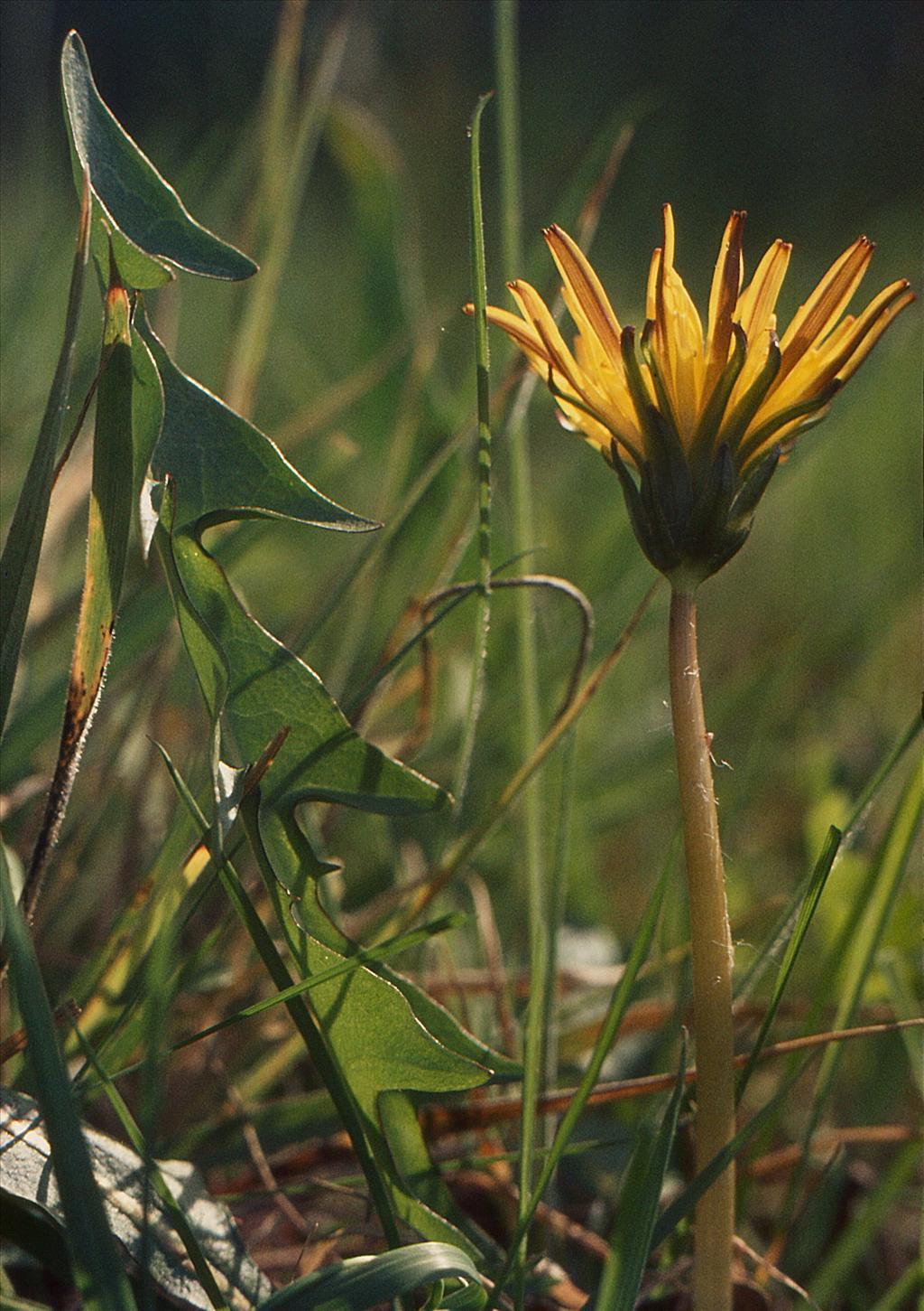 Taraxacum sect. Celtica (door Jelle Hofstra)