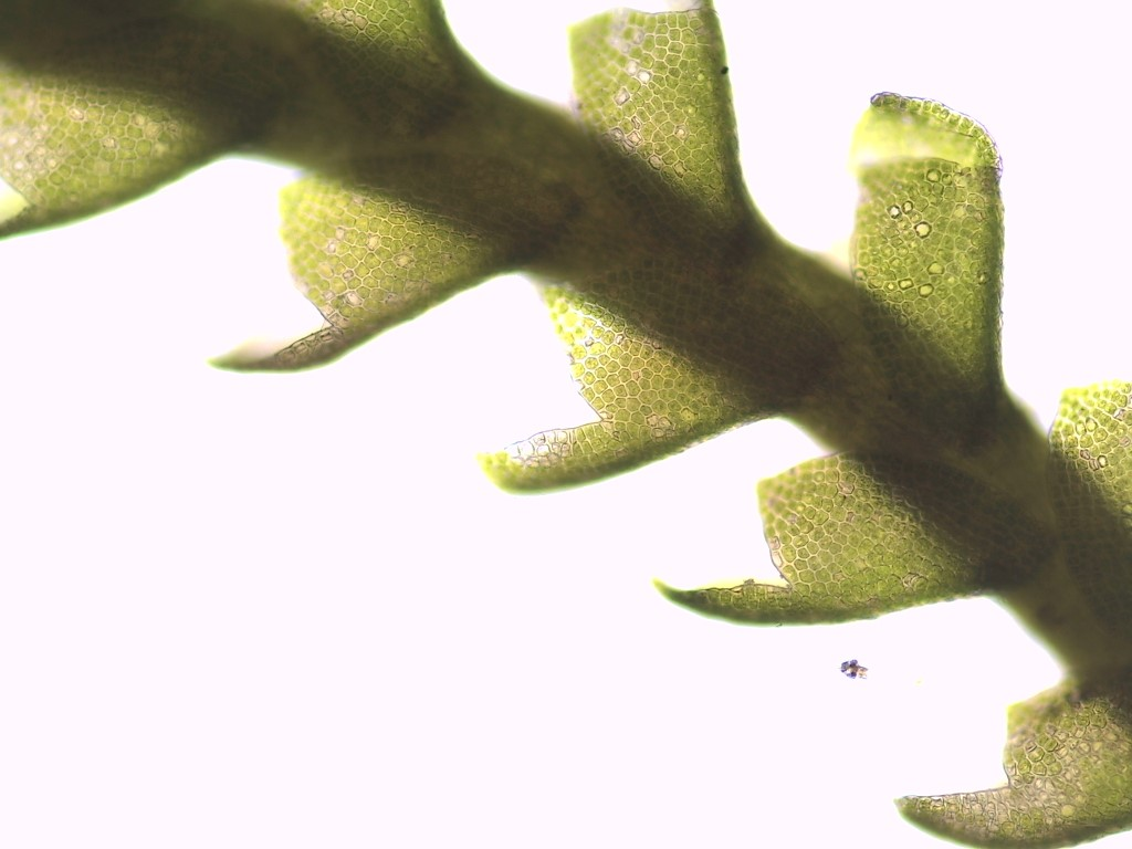 Anastrophyllum minutum (door herma visscher)