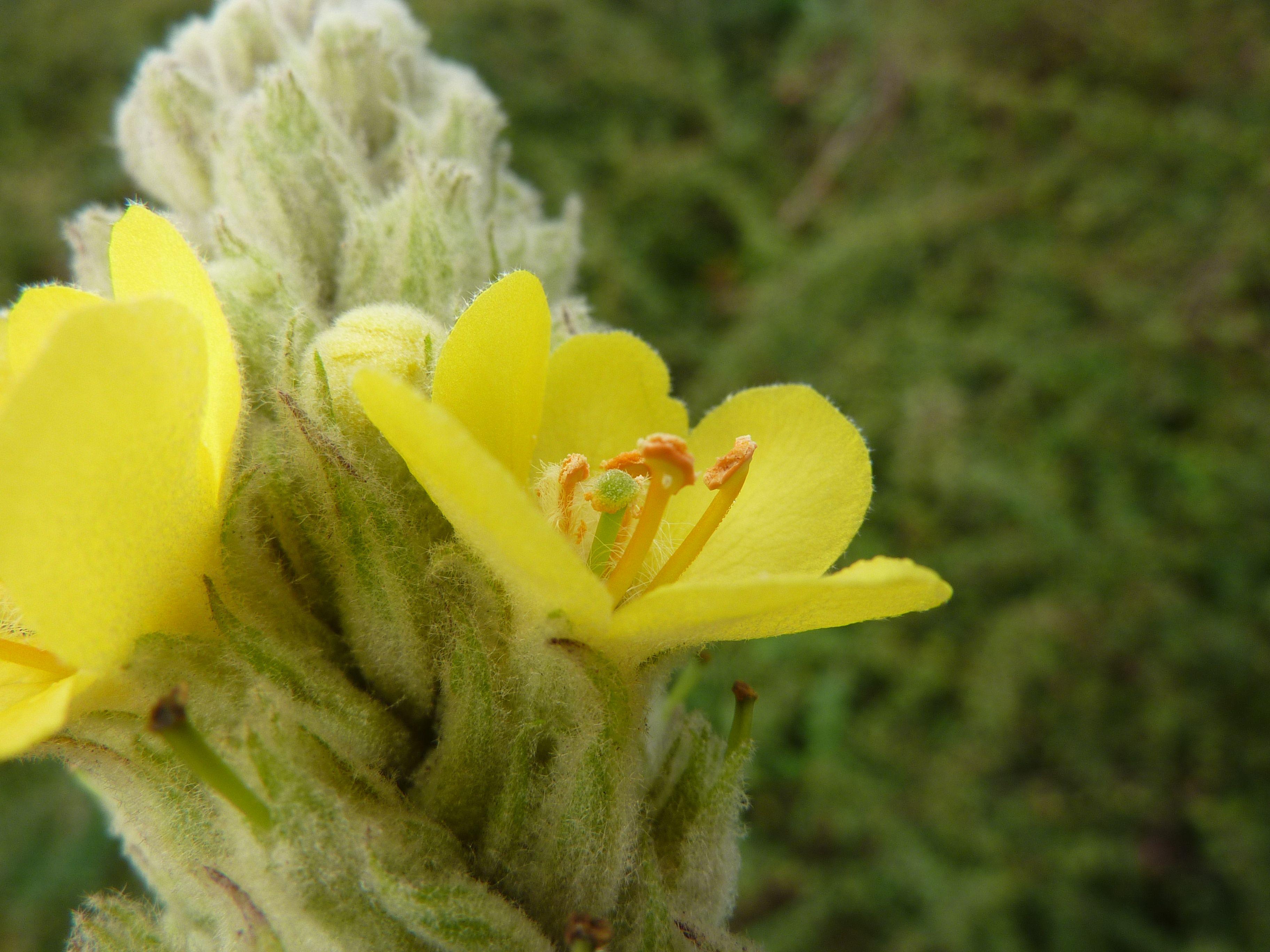 Verbascum thapsus (door Koen van Zoest)