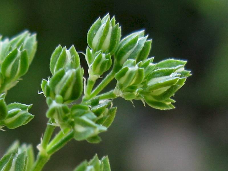 Polycarpon tetraphyllum (door Grada Menting)