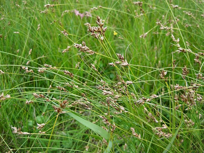 Carex divisa (door Grada Menting)