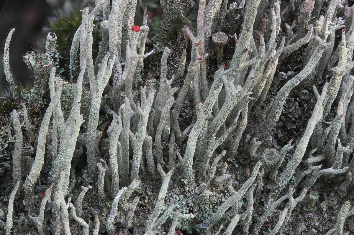 Cladonia macilenta (door Arjan de Groot)