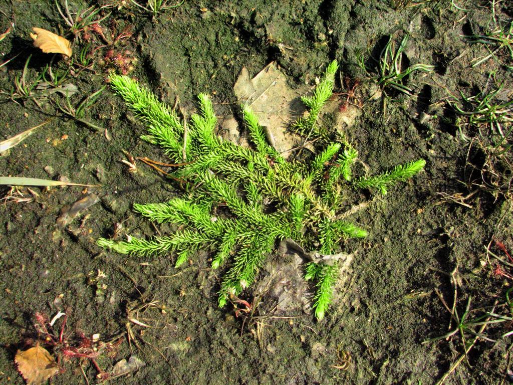Lycopodiella inundata (door Bert Verbruggen)