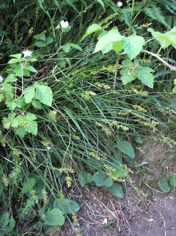 Carex muricata (door Erik Simons)