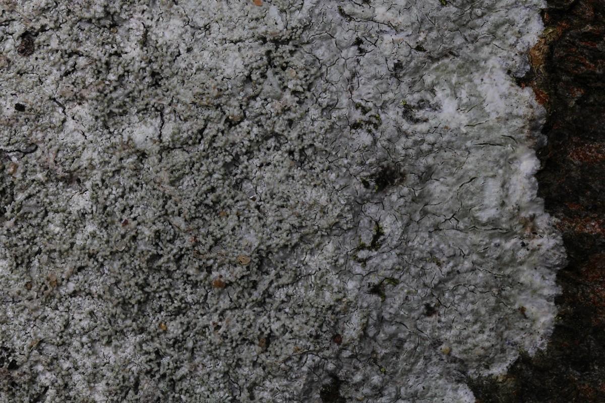 Pertusaria coccodes (door Arjan de Groot)