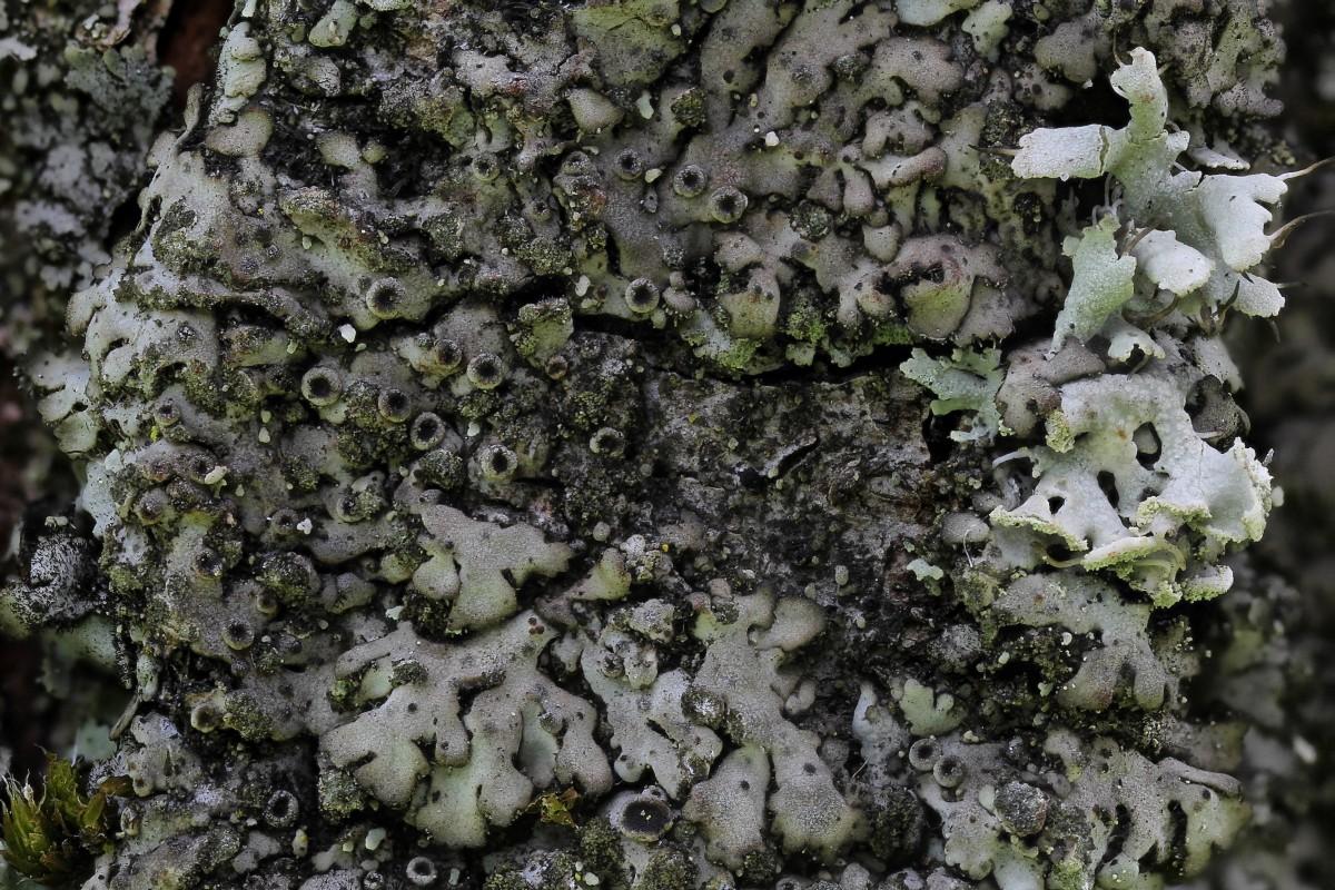 Phaeophyscia orbicularis (door Arjan de Groot)