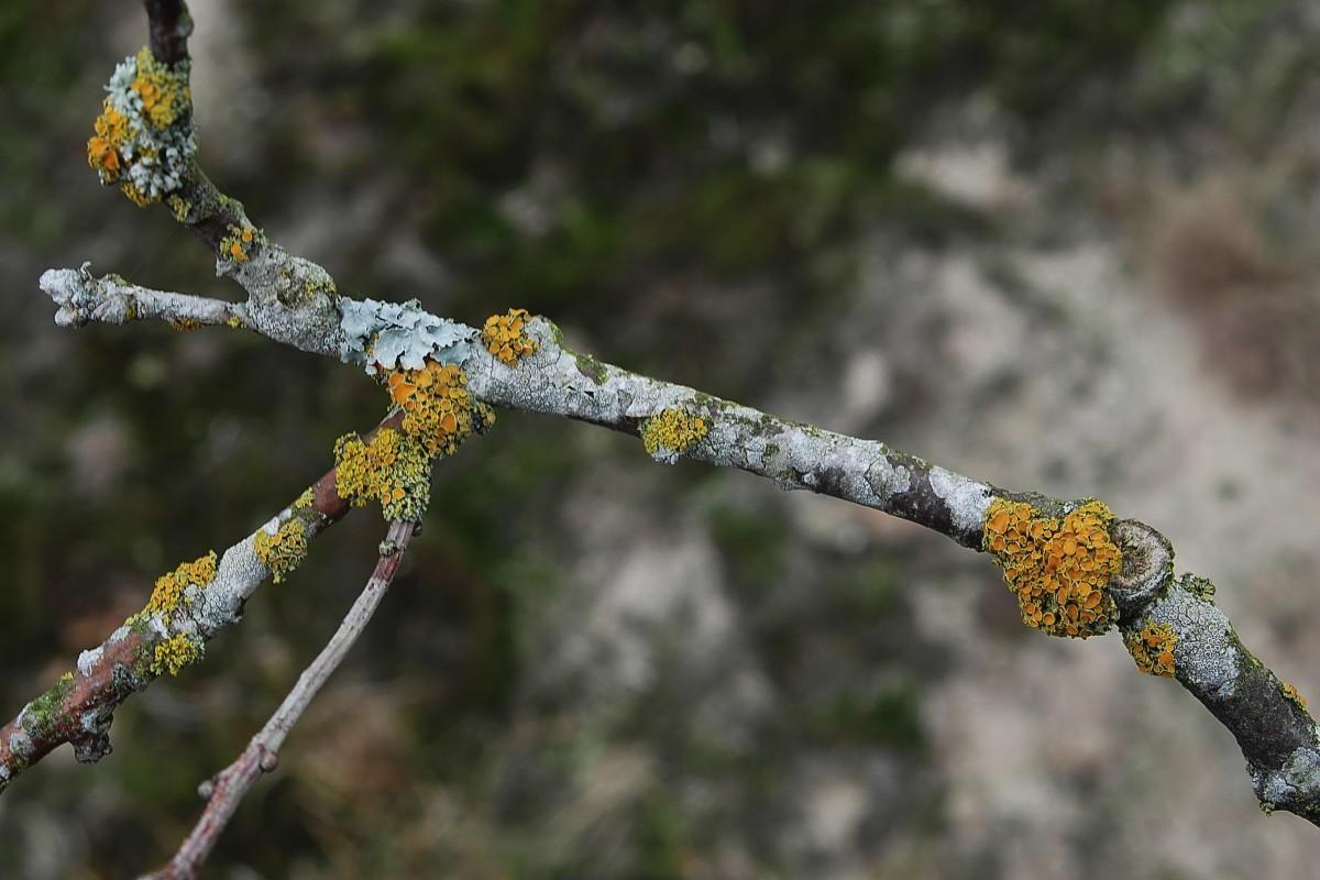 Polycauliona polycarpa (door Arjan de Groot)