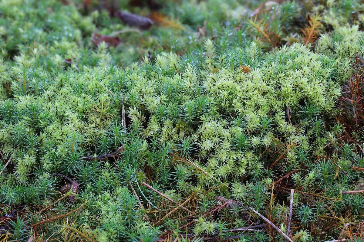 Aulacomnium palustre (door Arjan de Groot)