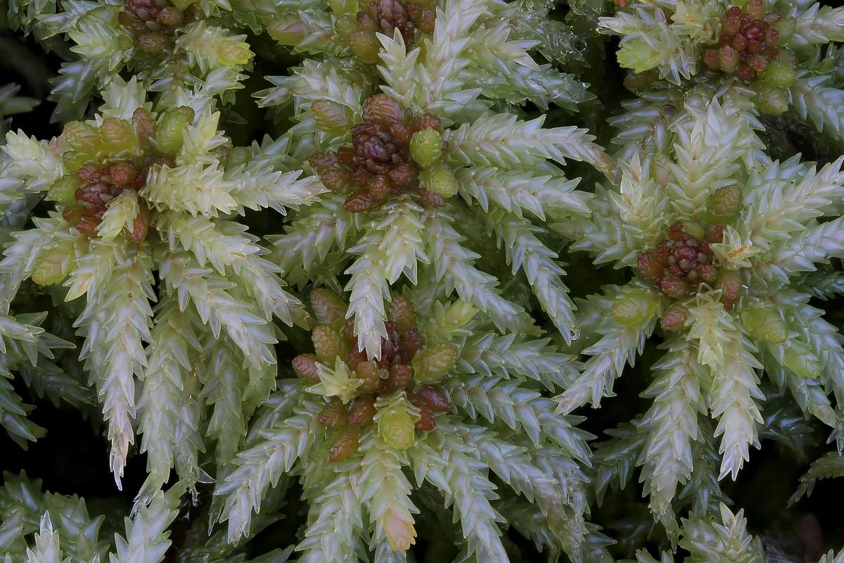 Sphagnum palustre (door Arjan de Groot)