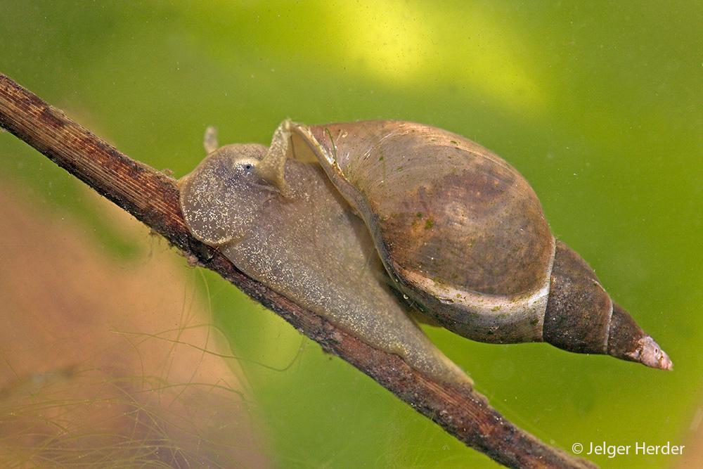 Lymnaea stagnalis (door Jelger Herder)