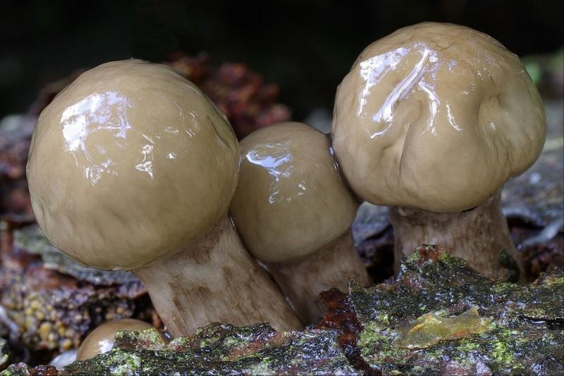 Oudemansiella mucida (door Gio van Bernebeek)