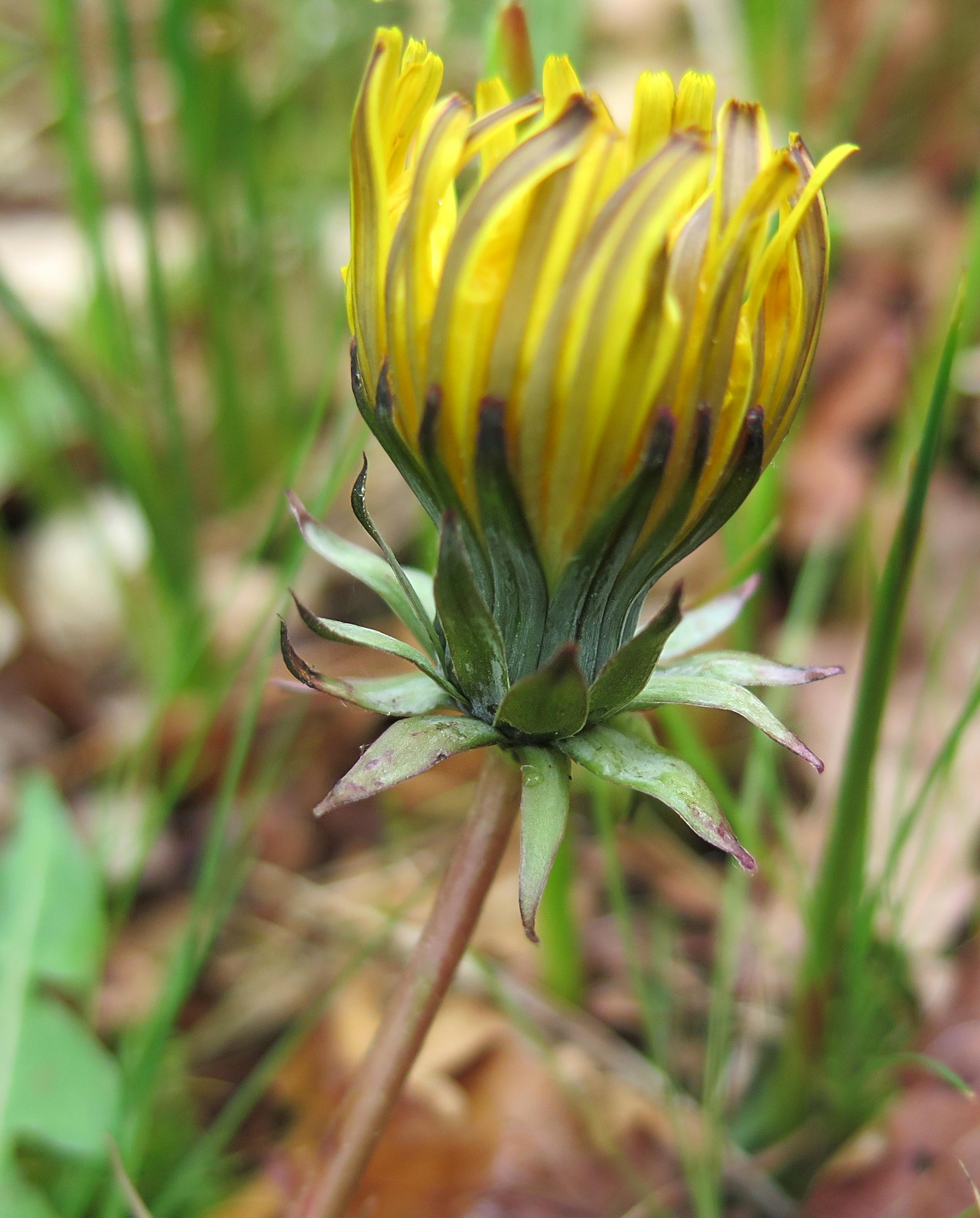 Taraxacum prionum (door Otto Zijlstra)