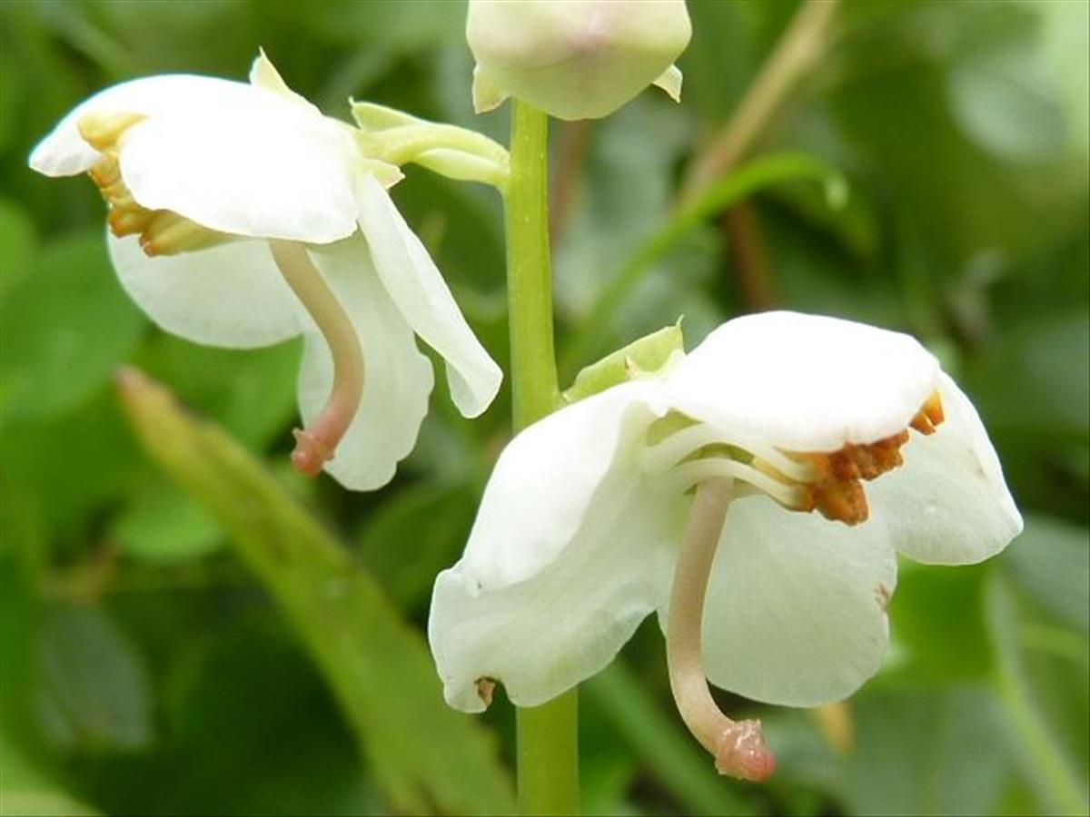 Pyrola rotundifolia (door Koen van Zoest)