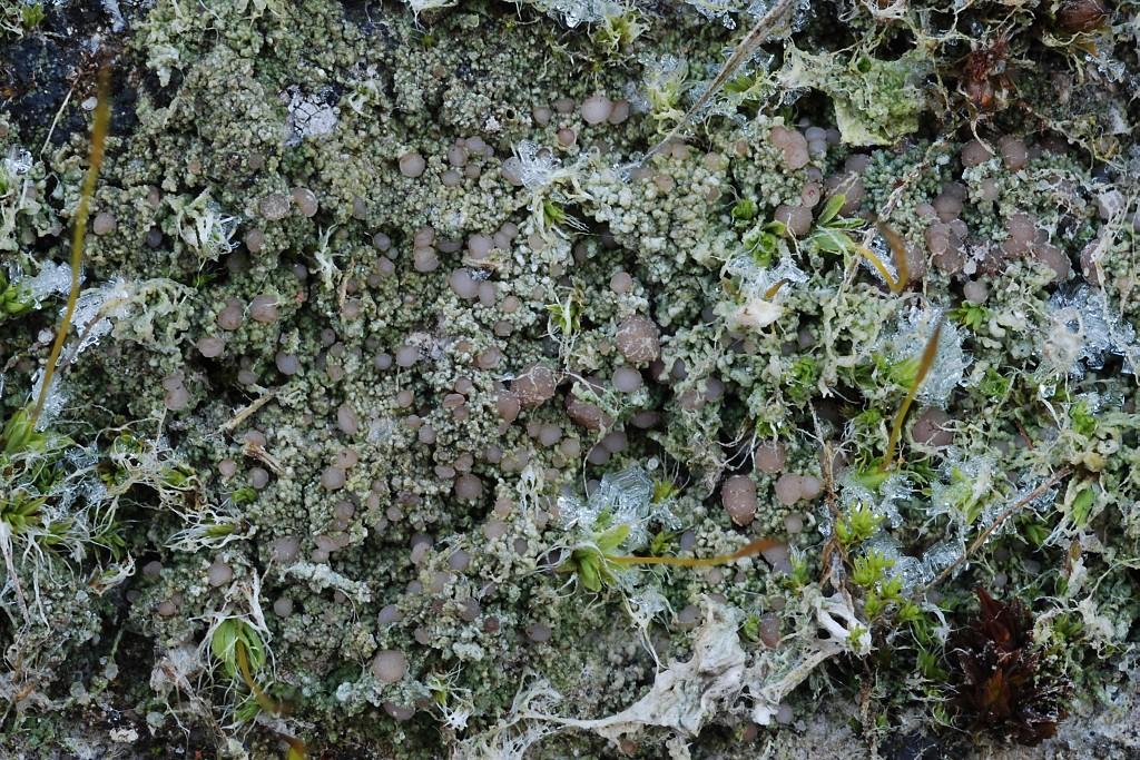 Bilimbia sabuletorum (door Arjan de Groot)