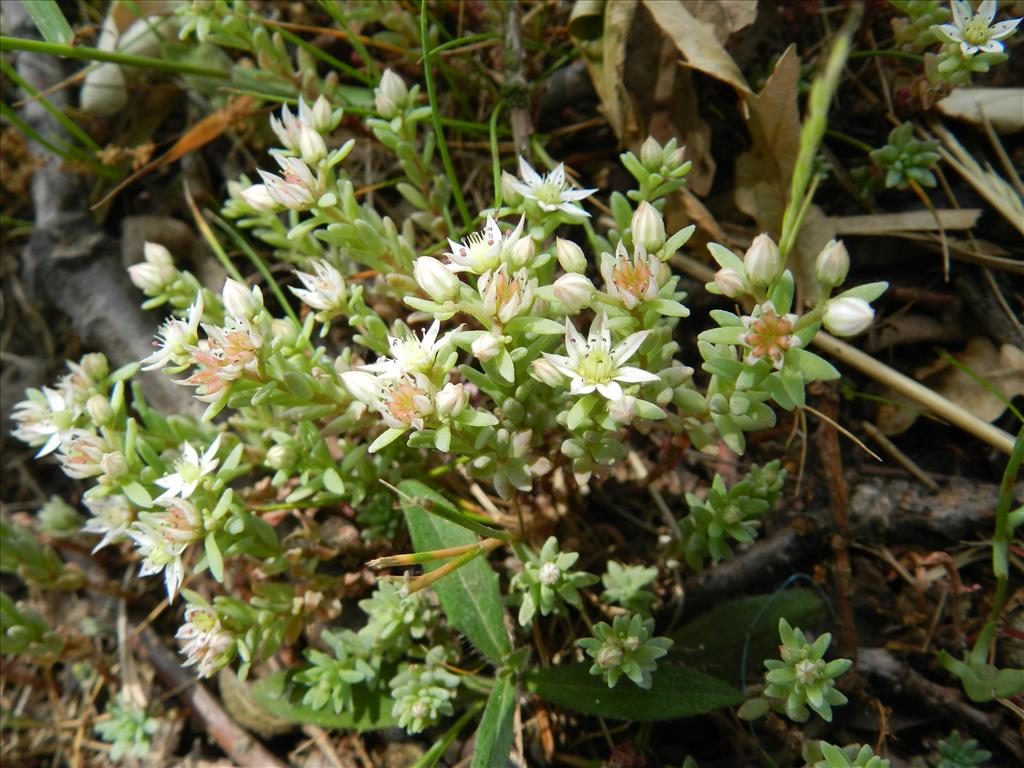 Sedum hispanicum (door Rutger Barendse)