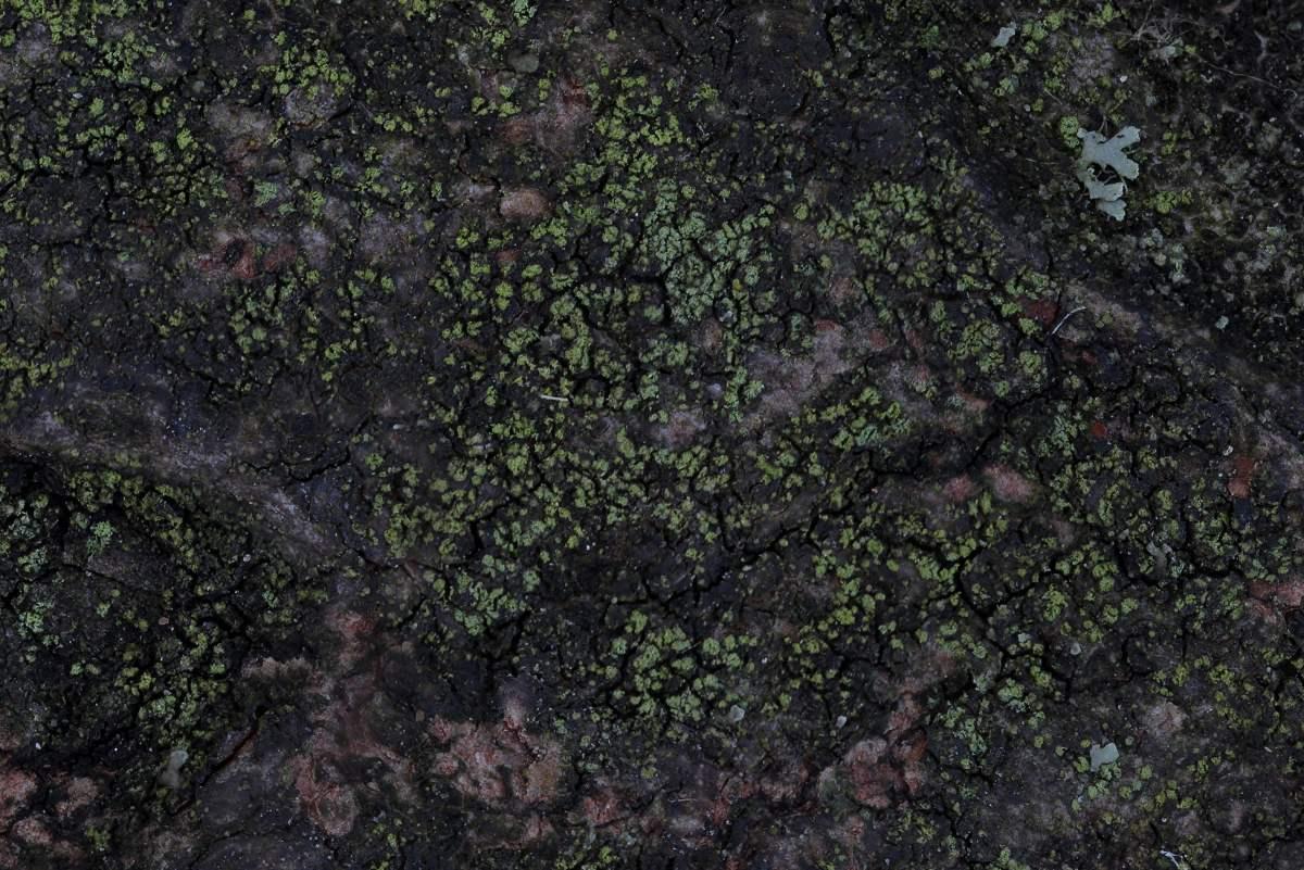 Halecania viridescens (door Arjan de Groot)
