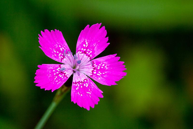 Dianthus deltoides (door John Breugelmans)