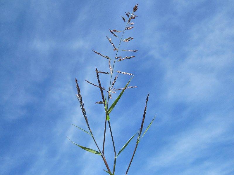 Eragrostis pilosa (door Grada Menting)