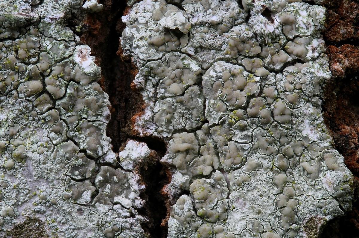 Lecanora symmicta (door Arjan de Groot)