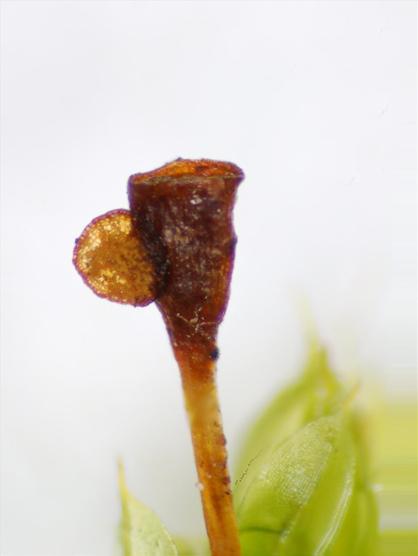 Tortula truncata (door Rudi Zielman)