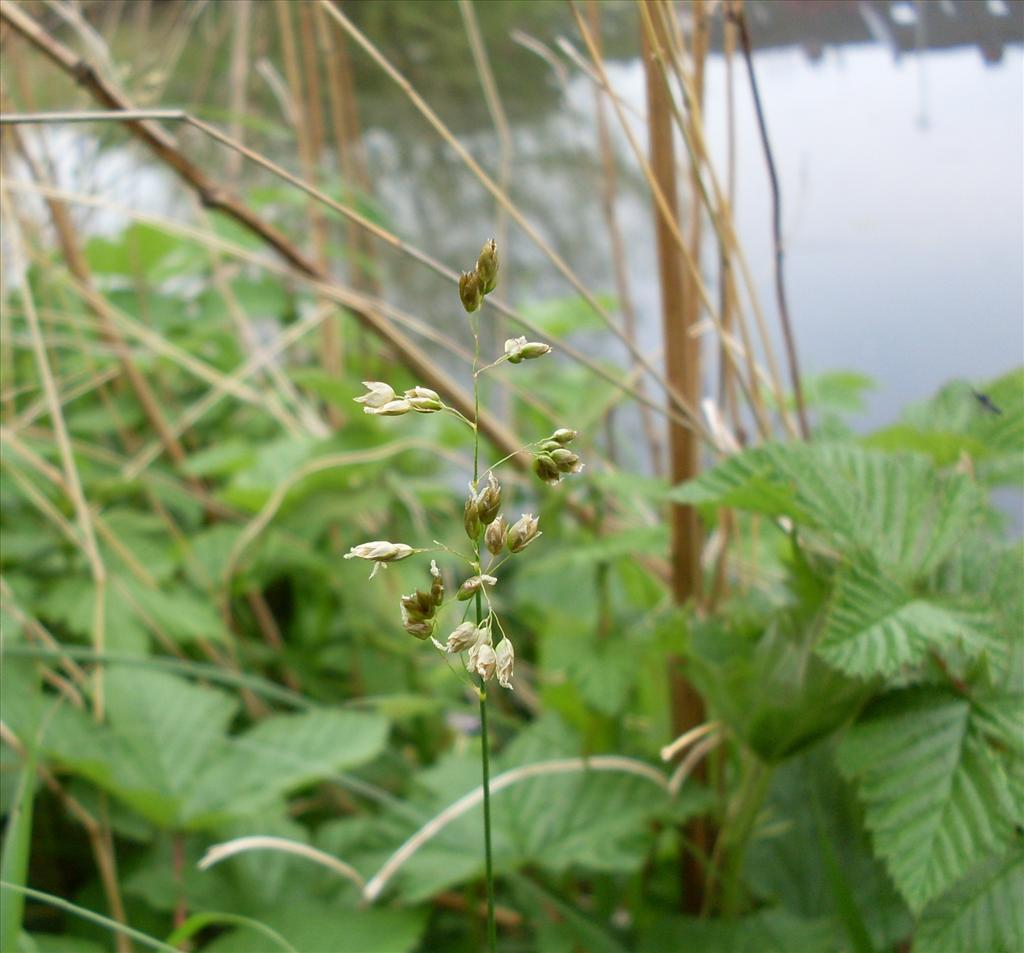 Hierochloe odorata (door Dick Kerkhof)