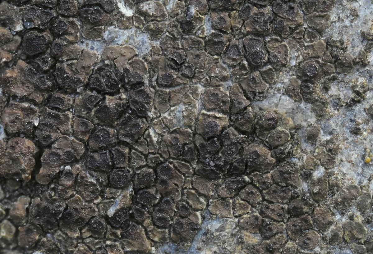 Acarospora veronensis (door Arjan de Groot)