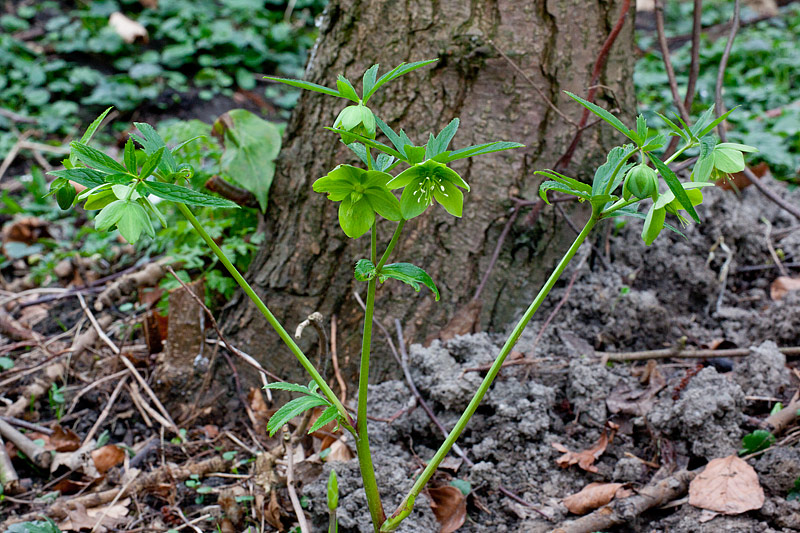 Helleborus viridis (door John Breugelmans)