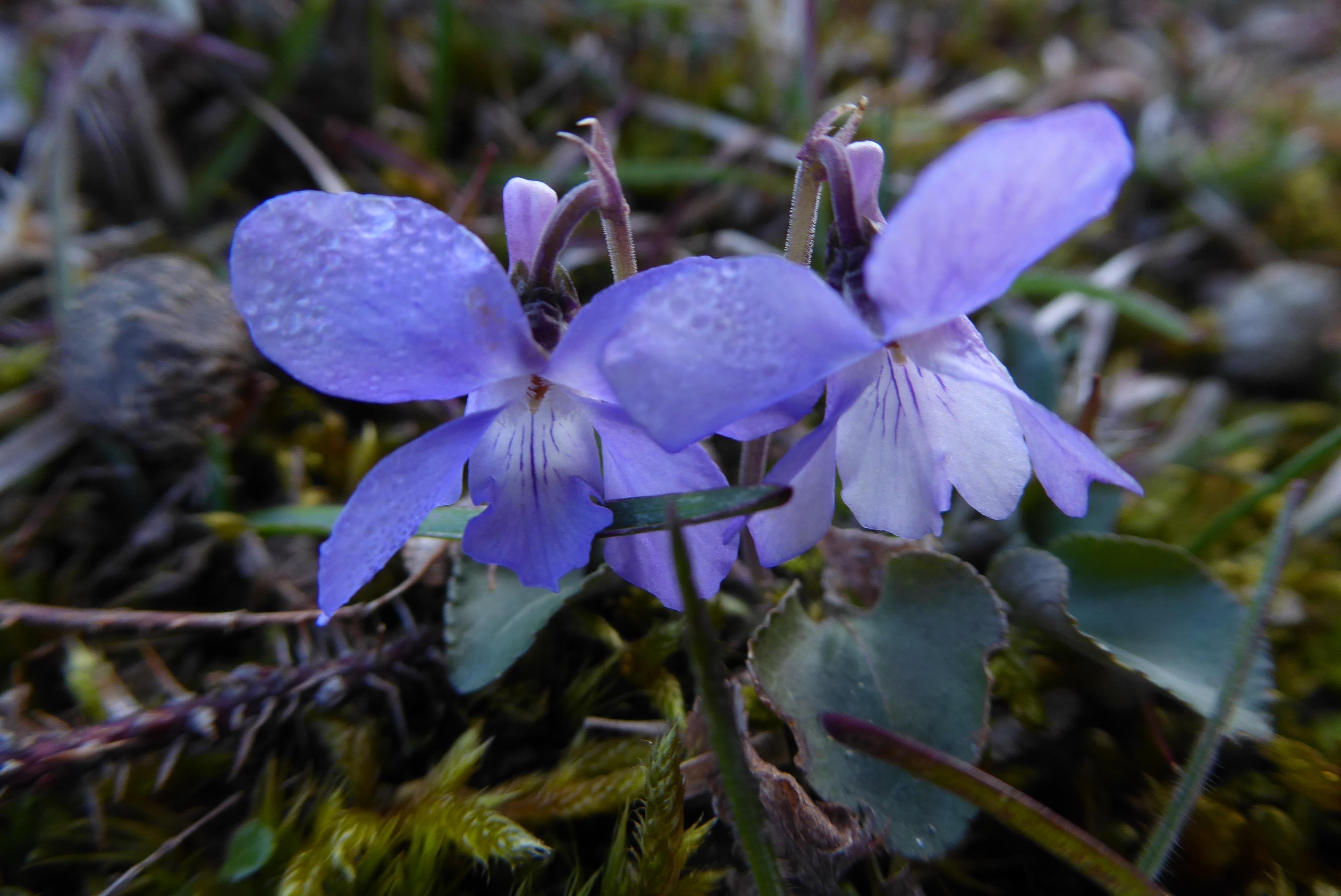 Viola rupestris (door Koen van Zoest)